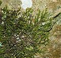 Frullania dilatata 140108a.jpg