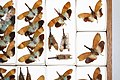 Fulgoridae Drawers - 5036106949.jpg