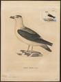 Fulmarus haesitatus - 1700-1880 - Print - Iconographia Zoologica - Special Collections University of Amsterdam - UBA01 IZ17900088.tif