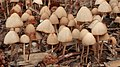 Fungi - Kitchener, Ontario 05.jpg