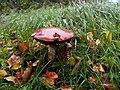 Fungus, Rusheen Point - geograph.org.uk - 2133245.jpg