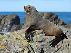 Fur seal posing on top of the rocks.jpg