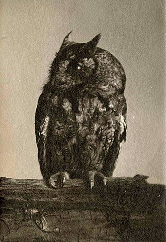Gene Stratton-Porter - One of Stratton-Porter's early nature photographs of owls, one of her favorite birds to study and photograph.