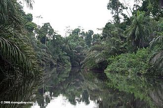 Baka people (Cameroon and Gabon) - The tropical rain forest in Gabon, Central Africa where some of the Baka reside