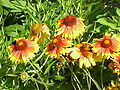 Gaillardia aristata2.jpg