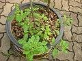 Gardenology.org-IMG 7950 qsbg11mar.jpg