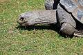 Geochelone nigra Zoo Praha 2011-3.jpg
