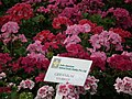Geranium Hybrid from Lalbagh flower show Aug 2013 7885.JPG