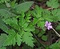 Geranium robertianum 2 RF.jpg