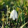 Gewoon sneeuwklokje (Galanthus nivalis).jpg
