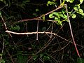 Giant Stick Insect (Phobaeticus kirbyi) (8419620988).jpg