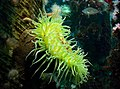 Giant green anemone (9444556933).jpg
