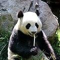 Giant panda eating bamboo.jpg