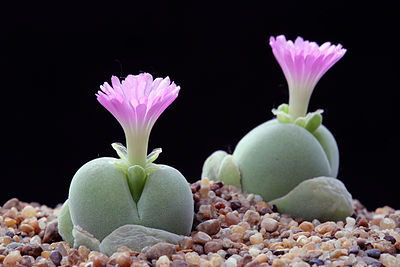 Gibbaeum nebrownii.jpg