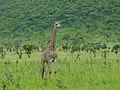 Giraffe (Giraffa camelopardalis) (11544623634).jpg