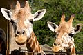 Giraffe III (13945602481).jpg