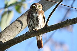 Glaucidium brasilianum -Mexico-8.jpg