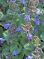 Glechoma hederacea, Hondsdraf (4).jpg