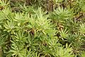 Globularia salicina - globe daisy shrub (32743415170).jpg