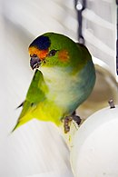 Green parrot with orange brow and cheeks, purple crown, and yellow tail