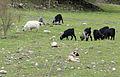 Goat herd, Dağılcak - Kozan, Adana.JPG