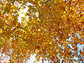 Golden canopy (6958024276).jpg