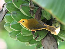 Small yellow bird clings to the side of a bunch of green bananas in a tree