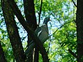 Golub grivnaš (Columba palumbus) Wood Pigeon.jpg