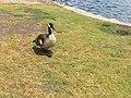Goose of Santa Ana,CA.jpg