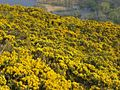 Gorse on Arthur's Seat - geograph.org.uk - 5751.jpg