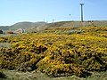 Gorse on the Great Orme - geograph.org.uk - 468967.jpg