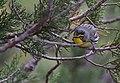 Grace's Warbler (33896489586).jpg