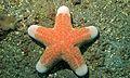 Granulated Sea Star (Choriaster granulatus) (8455465013).jpg