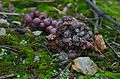 Grapes and stone (31245722744).jpg