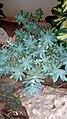 Graptopetalum paraguayense - Γραπτοπέταλο.jpg
