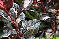 Graptophyllum pictum 11zz.jpg