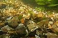 Gravier silex flint nodules fonds de la rivière Les baillons à Enquin 05.jpg