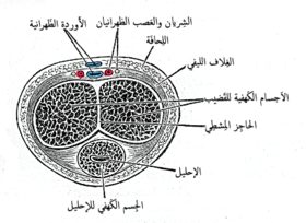 Transverse section of the قضيب. (Dorsal artery visible at top.)