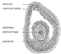 merevedéssel a petesejtek fájnak