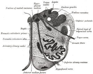 Hypoglossal nucleus - Section of the medulla oblongata at about the middle of the olive. (Hypoglossal nucleus visible top left.)