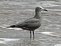 Gray Gull RWD.jpg
