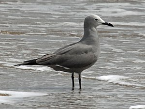 Grey gull - Grey gulls at La Laguna, Chile