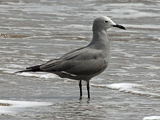 Grey gull Species of bird