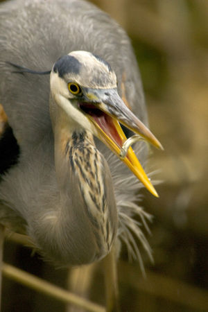 Mount Taylor (New Mexico) - Image: Great Blue Heron (VA)