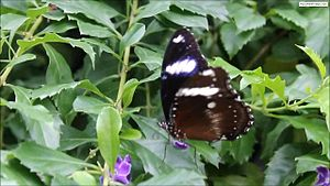 File:Great Eggfly QC.ogv