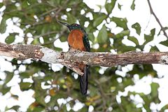 Great Jacamar.jpg
