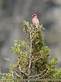 Great Rosefinch (Carpodacus rubicilla) (35988819690).jpg