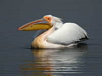 Great White Pelican, Etosha National Park, Namibia.jpg
