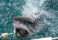 Great White Shark (Carcharodon carcharias) attacking a fish lure ... (30354497085).jpg