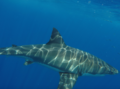 Great white shark at Isla Guadalupe. Shark cage diving MV Horizon.png